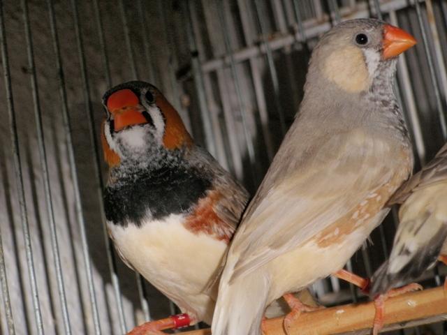 Mandarins - Outras aves de 2012 P6030187