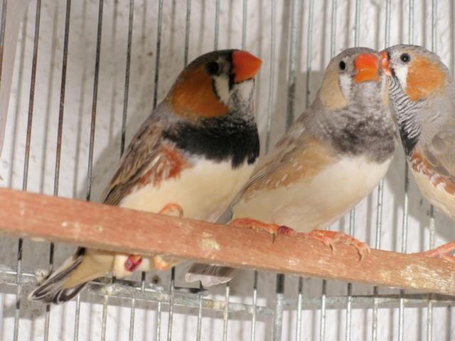 Mandarins - Outras aves de 2012 P6030192