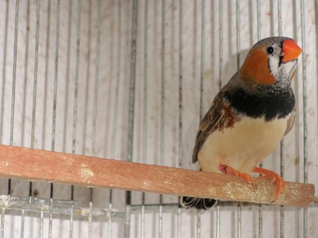 Mandarins - Outras aves de 2012 P6030193