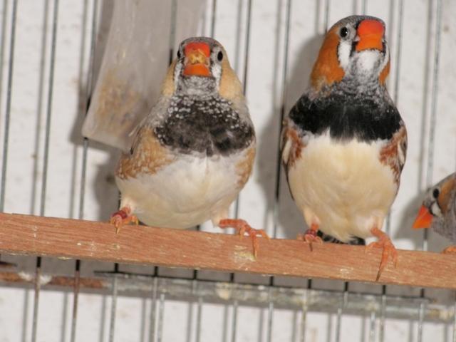 Mandarins - Outras aves de 2012 P6030197