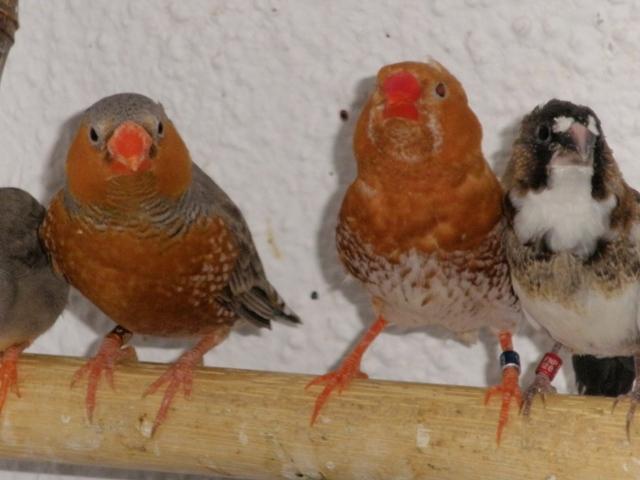 Mandarins - Outras aves de 2012 P6030201