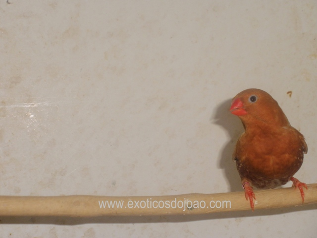 Mandarins - Outras aves de 2012 P6230213