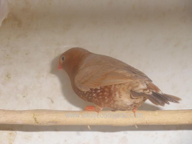 Mandarins - Outras aves de 2012 P6230216