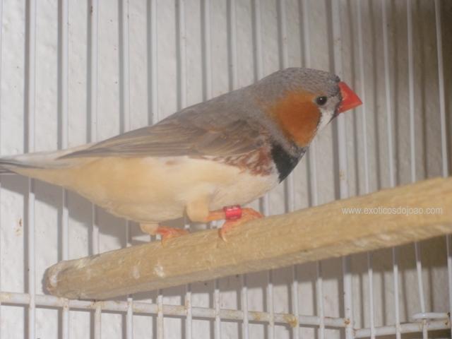 Mandarins - Outras aves de 2012 P6230226