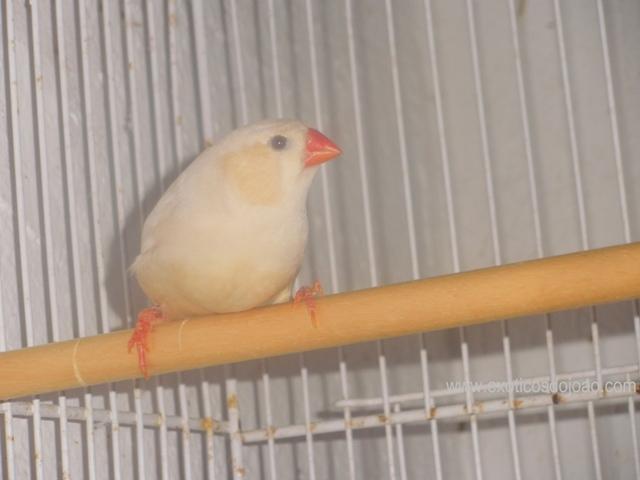 Mandarins - Outras aves de 2012 P6230242