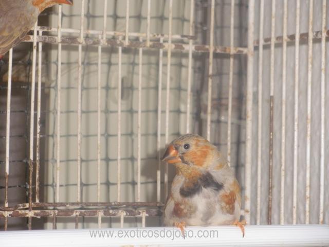Mandarins - Outras aves de 2012 P6230245
