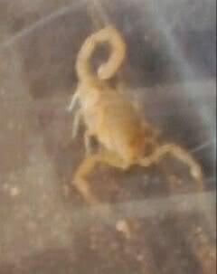 Adult Bark Scorpion? 1306368745