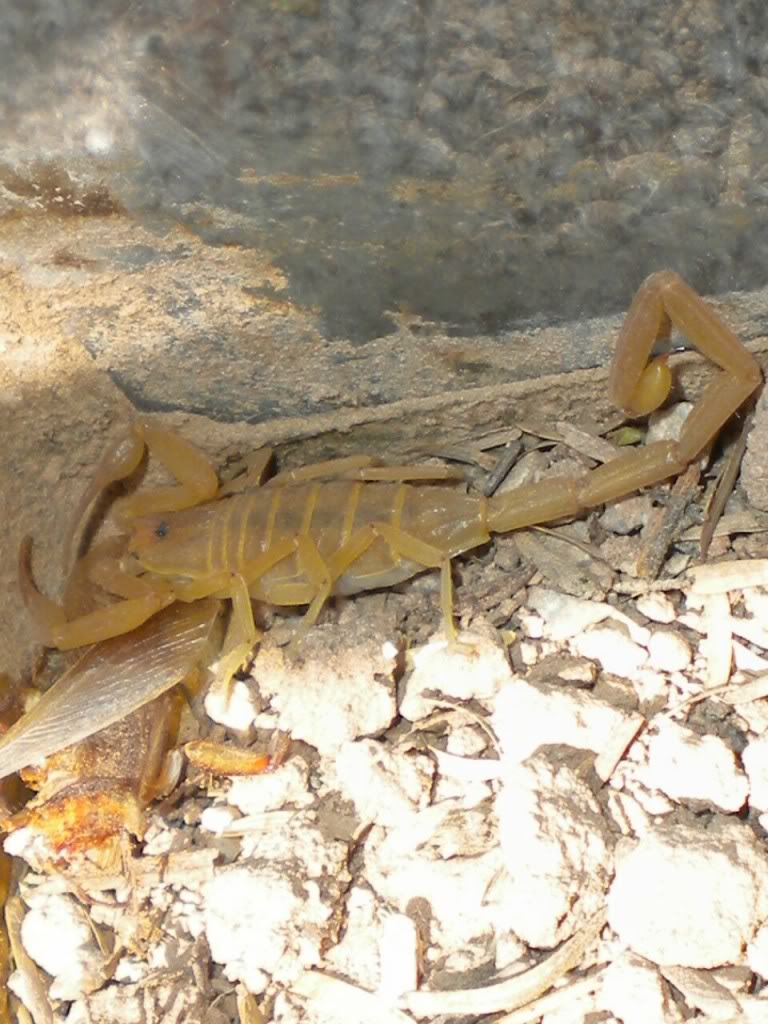 Adult Bark Scorpion (v2) 1307469907