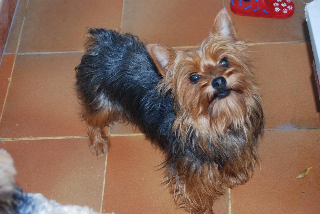 Presentaciones de nuestros perros , ¡Da a conocer a tu amigo perruno! DSC_0038