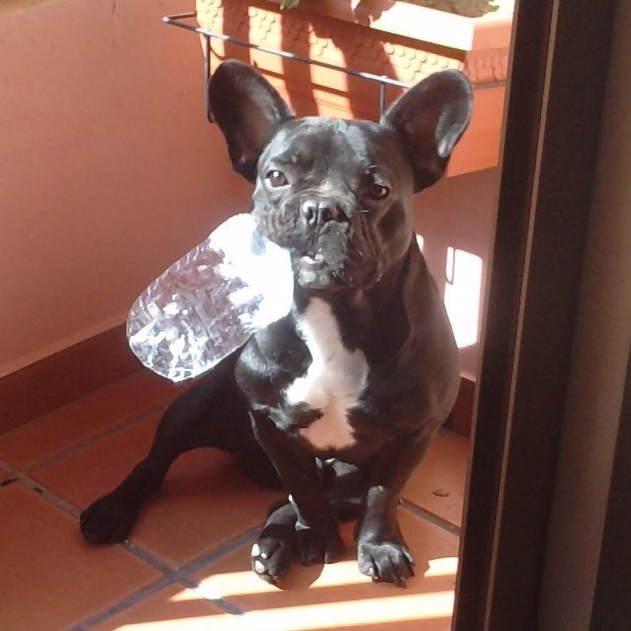 Presentaciones de nuestros perros , ¡Da a conocer a tu amigo perruno! Pettter