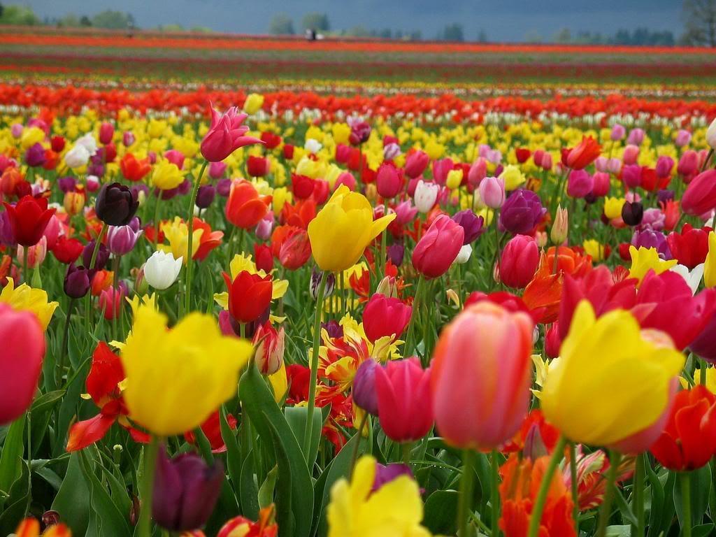 A veces, simplemente sucede.. y se van, y siempre se quedan aquí, cerca... Buen viaje querídisima CFRio Nature_wallpaper_tulips