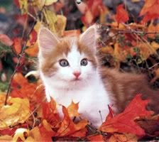 cat.jpg Cat Autumn* image by shyvickygirl