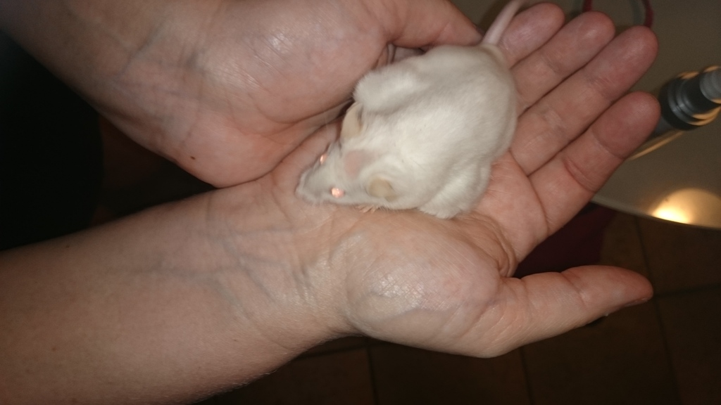 Is my mouse fat, pregnant or something worse. DSC_0060_zpskau1hakl