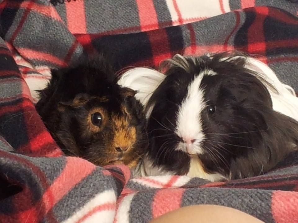 Hello from myself, my bunnies and piggies. 1385259_10152031295980774_1927870752_n_zps3f8103ae