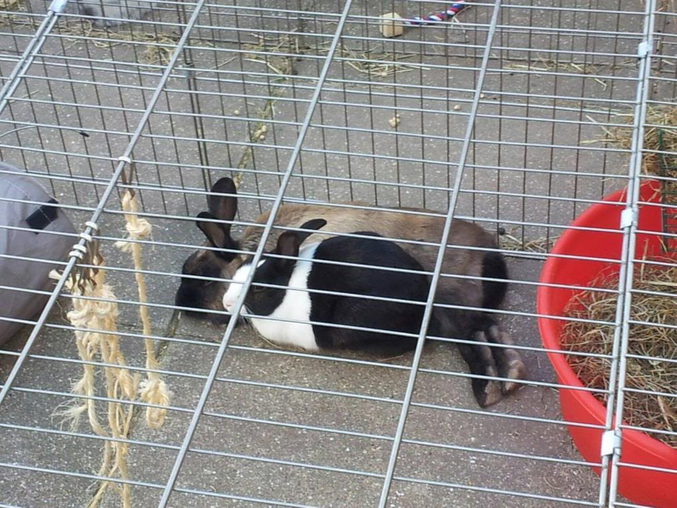 Hello from myself, my bunnies and piggies. 964682_10151742540165774_530429177_o_zps90d78615