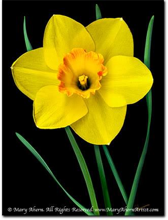 Hi Everyone Newbie here! Yellow-daffodil-mary-ahern