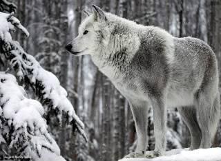 Finches Dark Alley White-wolf-big
