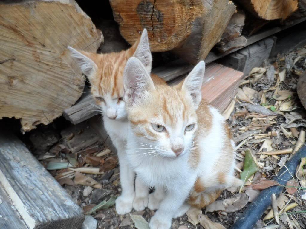 Μικρα πορτοκαλι γατακια. Kitty2