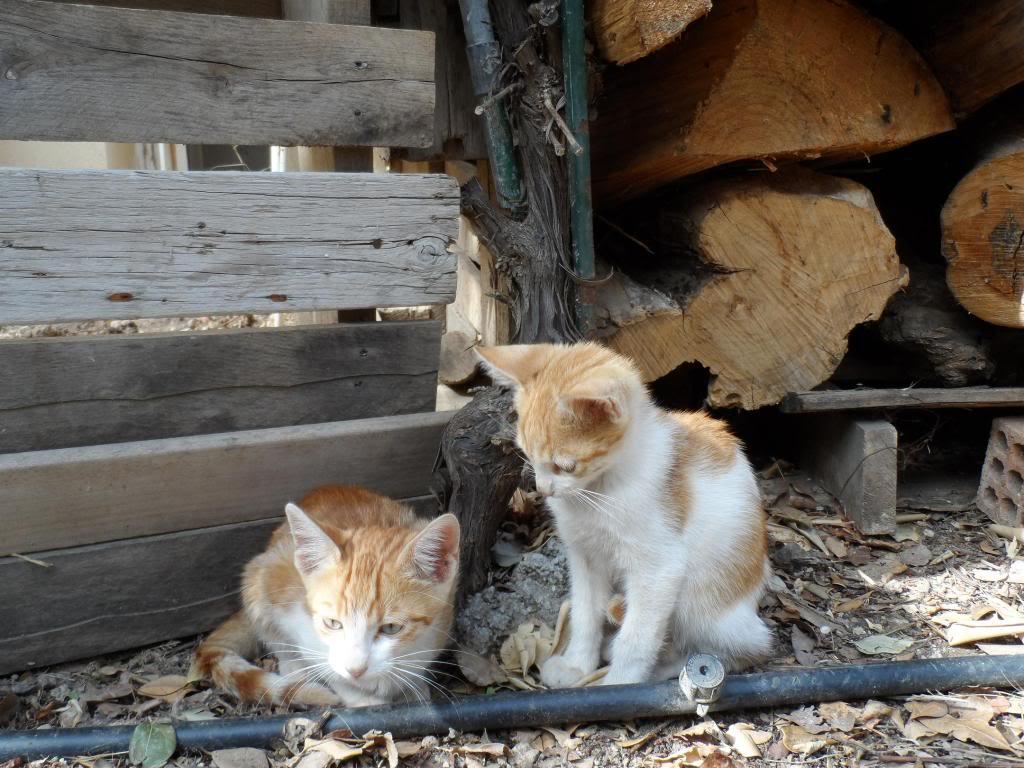 Μικρα πορτοκαλι γατακια. Kitty4