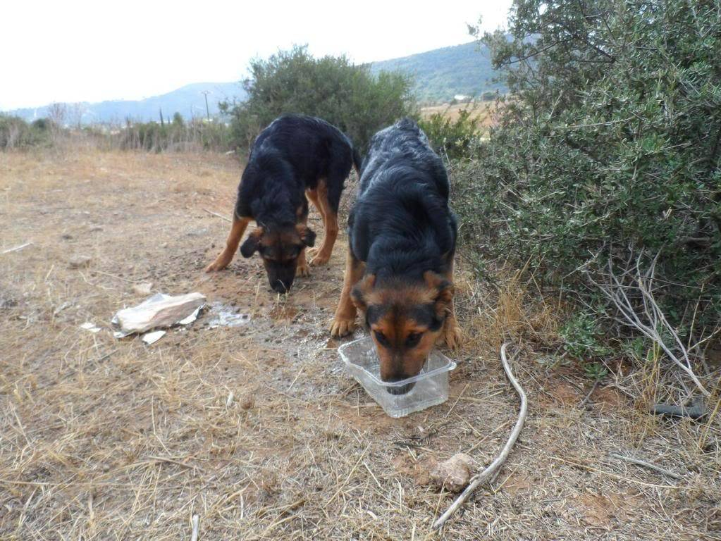 Σκυλογονείς για ημίαιμα λυκάκια! Puppies2