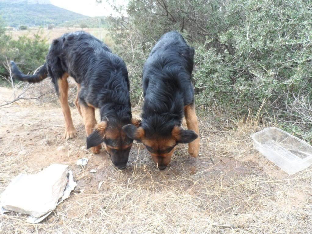Σκυλογονείς για ημίαιμα λυκάκια! Puppies3