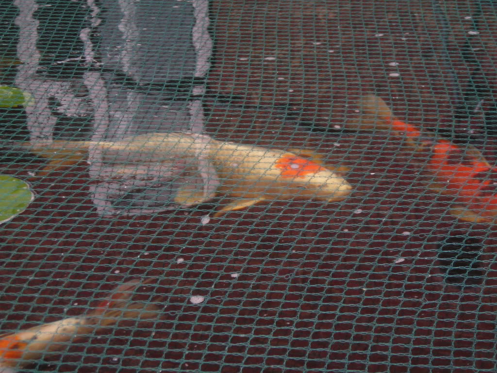 Any one keep koi or pond fish Picture215