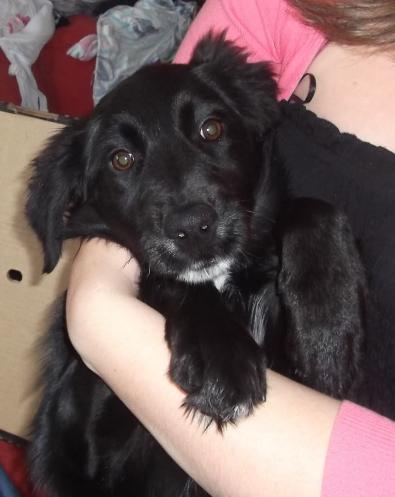 Sara, Collie/Retriever X Pup fostered by Four Paws Animal Rescue (South Wales )  Cara1