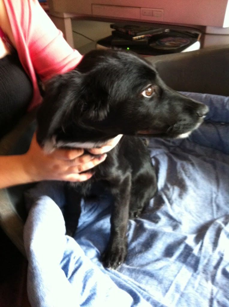 Sara, Collie/Retriever X Pup fostered by Four Paws Animal Rescue (South Wales )  IMG_0317