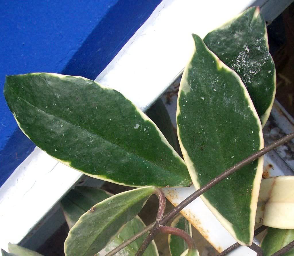 Hoya Carnosa y sus subespecies, pongamos nuestras fotos 102_3568