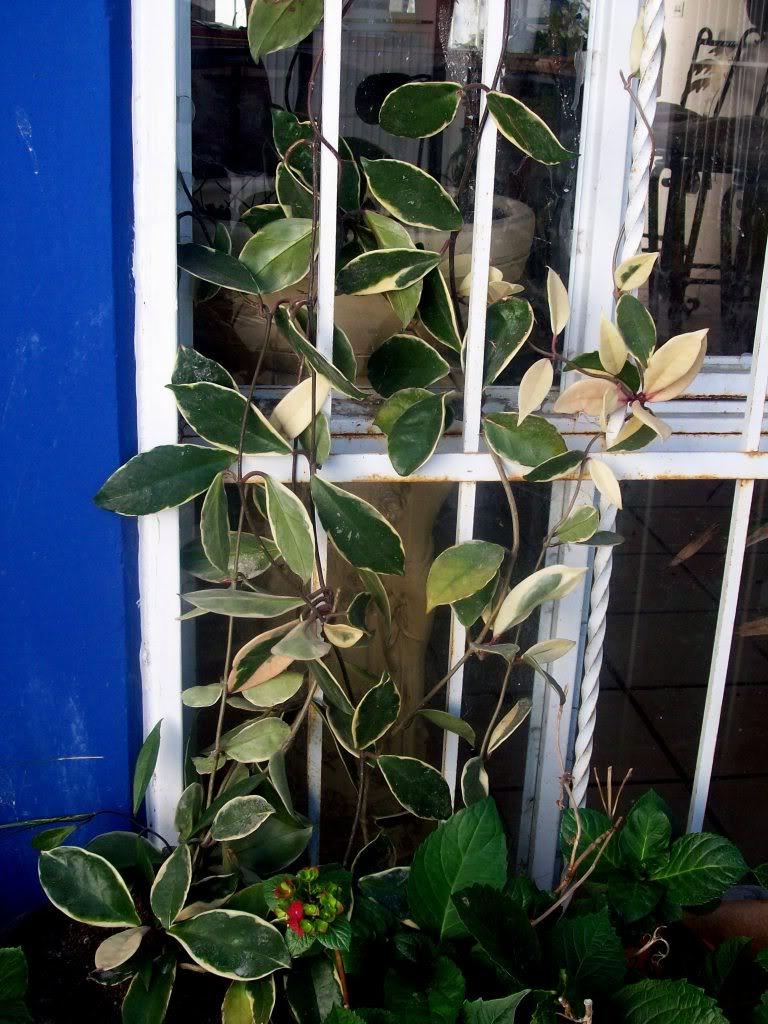 Hoya Carnosa y sus subespecies, pongamos nuestras fotos 102_3569