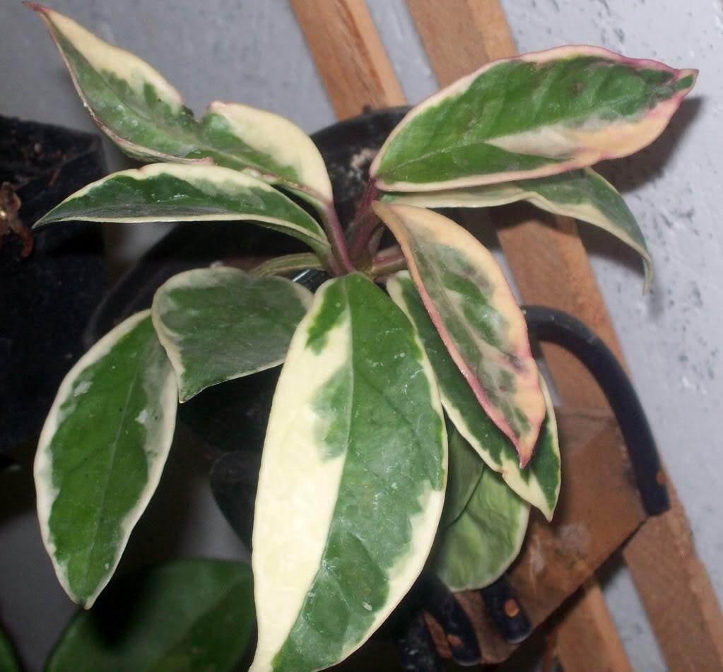 Hoya Carnosa y sus subespecies, pongamos nuestras fotos 102_3586