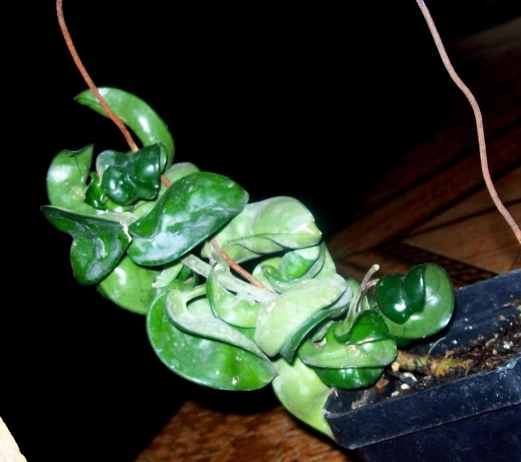 Hoya Carnosa y sus subespecies, pongamos nuestras fotos 102_4568