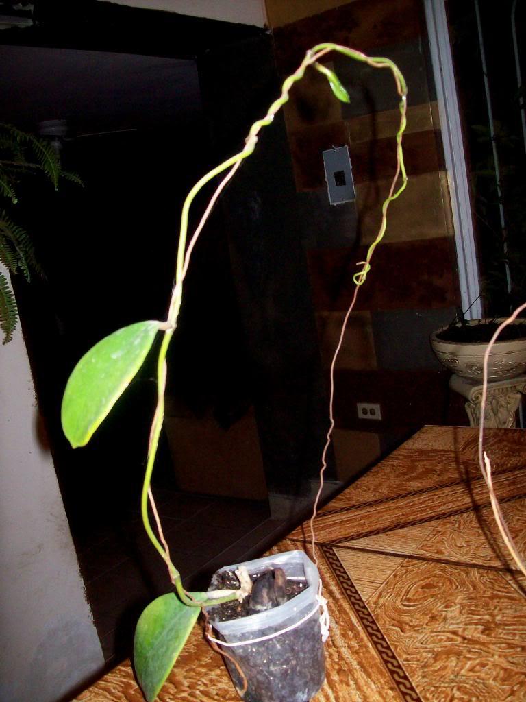Hoya Excavata, pongamos nuestras fotos 102_4570