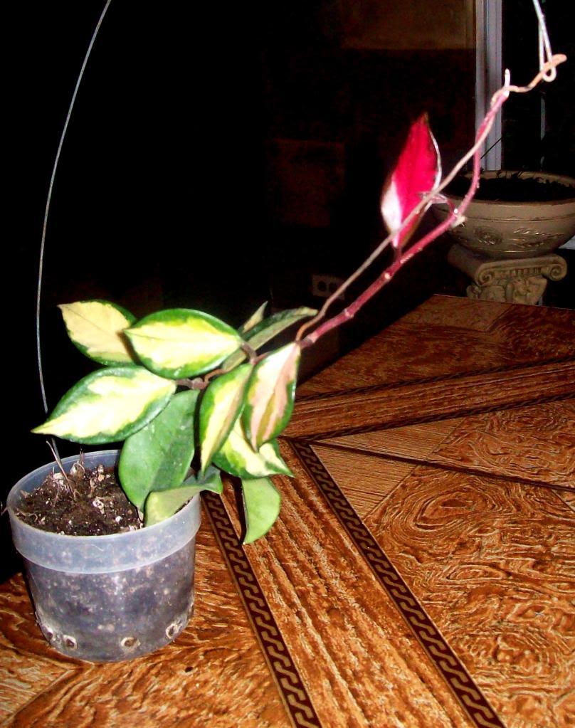 Hoya Carnosa y sus subespecies, pongamos nuestras fotos 102_4574