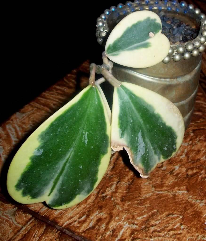 Hoya Kerri y sus subespecies, pongamos nuestras fotos 102_4578