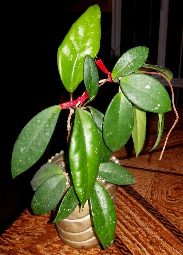 Hoya Pubicalyx y sus subespecies, pongamos nuestras fotos 102_4580