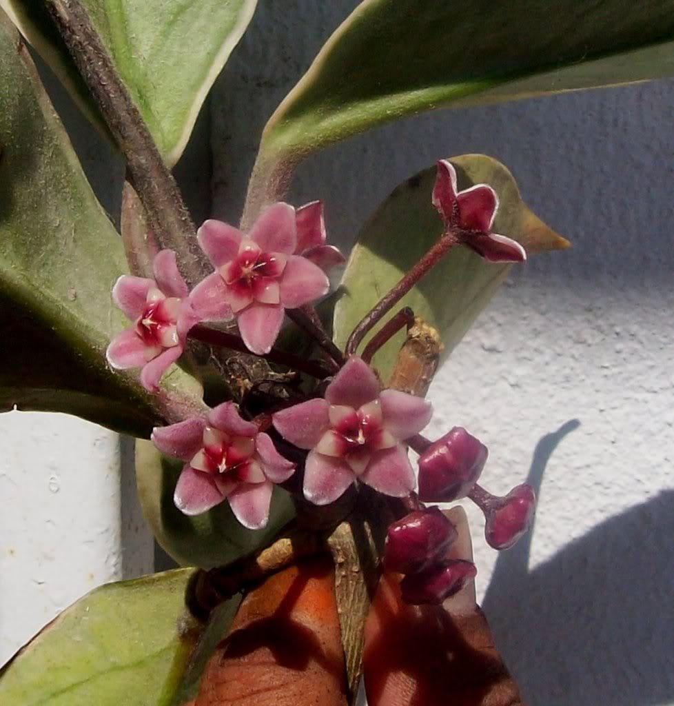 Hoya Carnosa y sus subespecies, pongamos nuestras fotos 102_5196