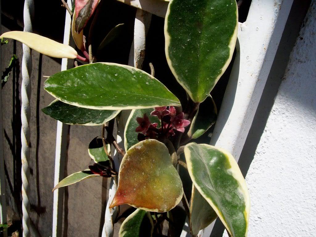 Hoya Carnosa y sus subespecies, pongamos nuestras fotos 102_5197