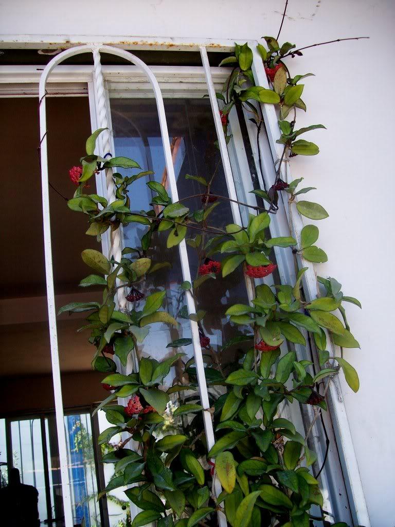 Hoya Carnosa y sus subespecies, pongamos nuestras fotos 102_5198