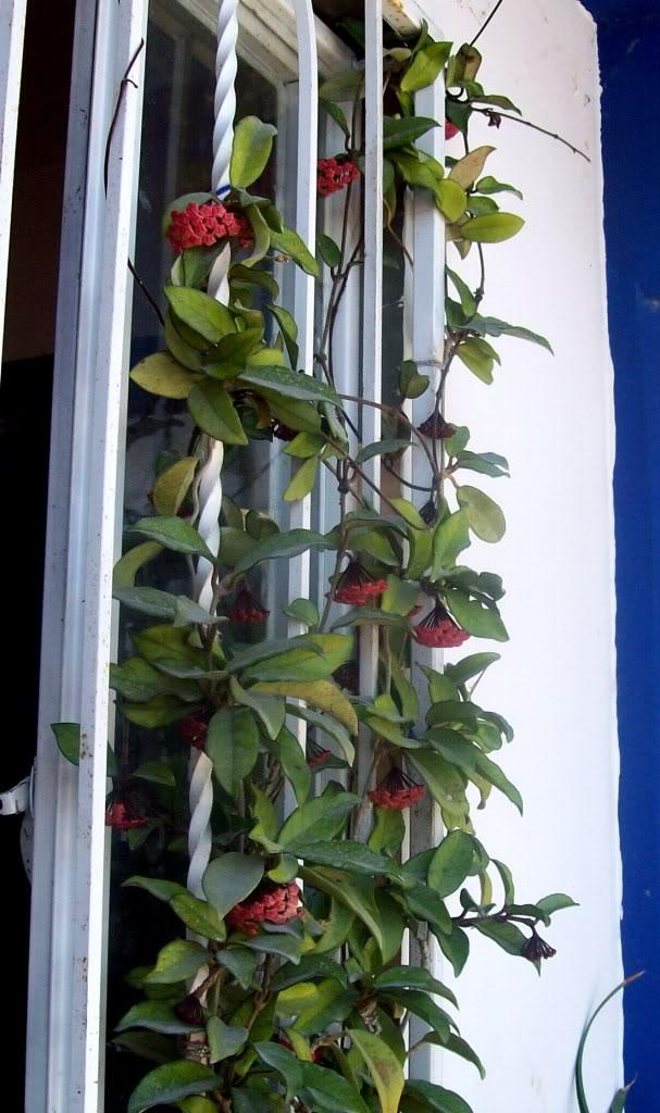 Hoya Carnosa y sus subespecies, pongamos nuestras fotos 102_5199