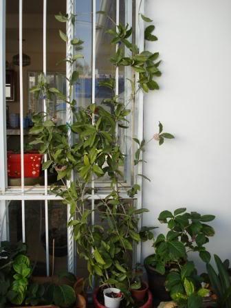 Hoya Carnosa y sus subespecies, pongamos nuestras fotos DSC00004