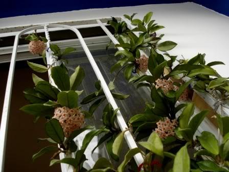Hoya Carnosa y sus subespecies, pongamos nuestras fotos DSC000152