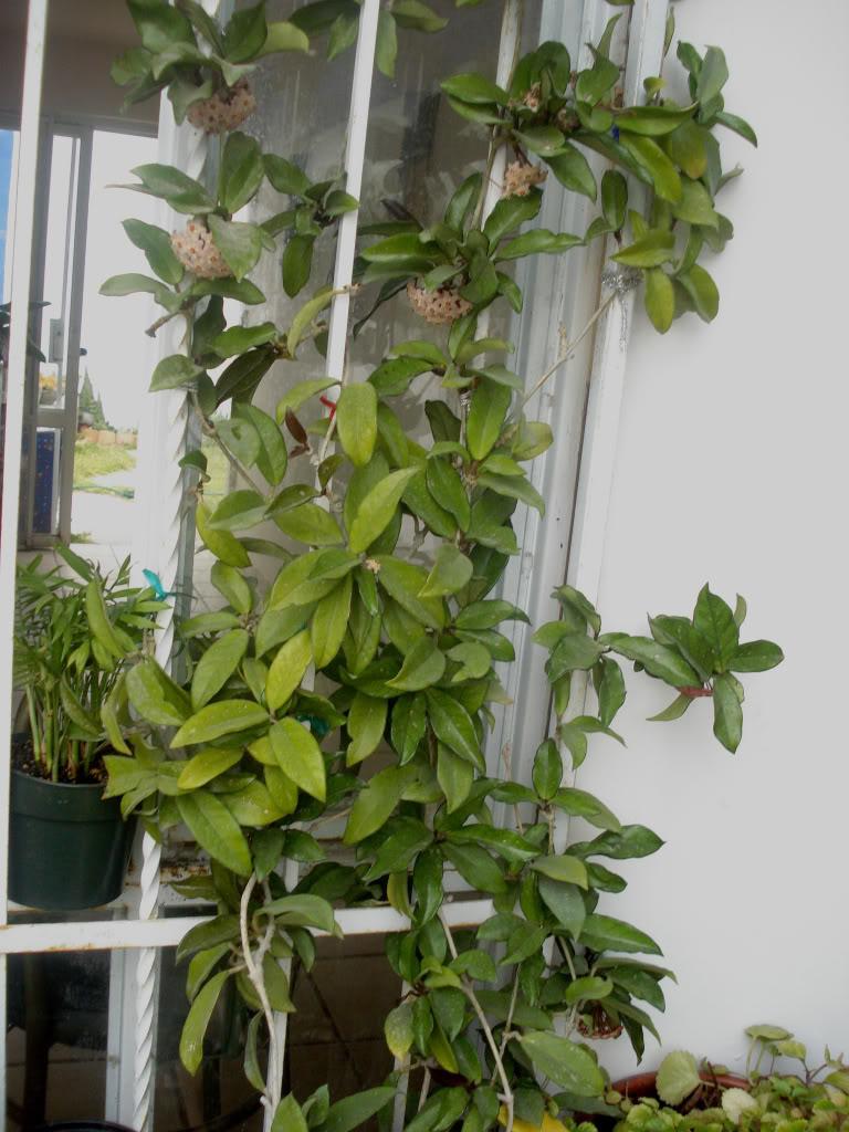 Hoya Carnosa y sus subespecies, pongamos nuestras fotos DSC00080