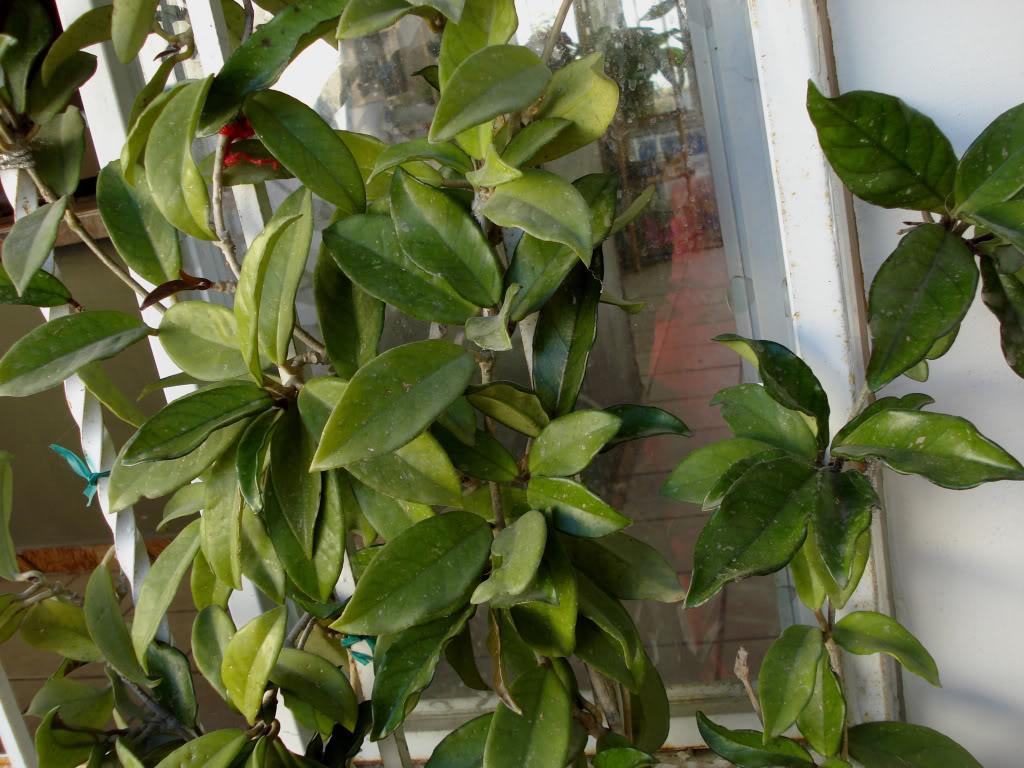 Hoya Carnosa y sus subespecies, pongamos nuestras fotos DSC00189