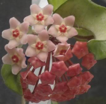 Hoya Carnosa y sus subespecies, pongamos nuestras fotos DSC00230