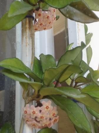 Hoya Carnosa y sus subespecies, pongamos nuestras fotos DSC00251