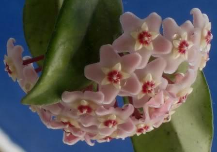 Hoya Carnosa y sus subespecies, pongamos nuestras fotos DSC00266