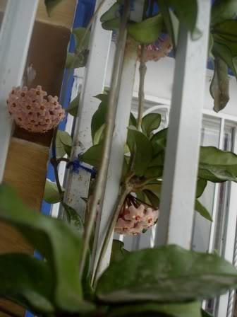 Hoya Carnosa y sus subespecies, pongamos nuestras fotos DSC002682