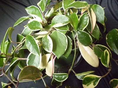 Hoya Carnosa y sus subespecies, pongamos nuestras fotos Hoyacarnosakrimsonqueenown2