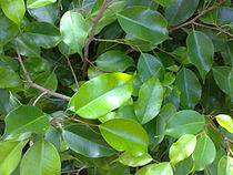 குறிஞ்சிப்பாட்டில் 99 மலர்கள்:பட்டியல் நிறைவு பெற்றது ! - Page 7 210px-Citrus_leaves